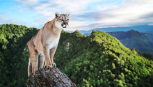 Cougar In The Mountains, Mount...
