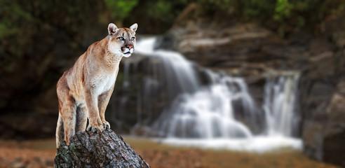 Obraz na Szkle Wodospad Puma at the Falls, mountain lion, puma