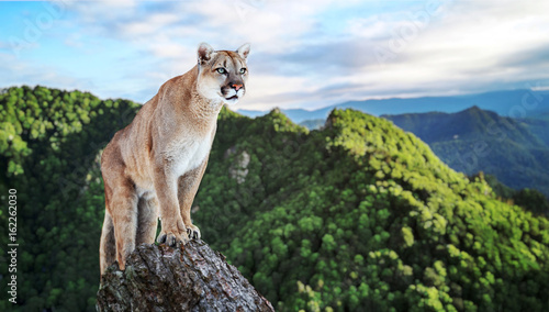 Tuinposter Puma Cougar in the mountains, mountain lion, puma