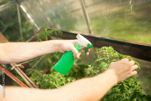 Young man hands spraying nature fertilizer / mature to a tomato