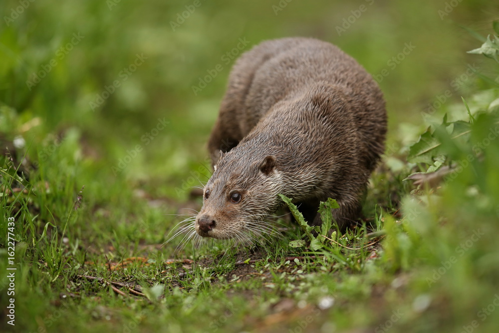 Fototapeta Eurasian otter, Lutra lutra, water animal in the nature habitat, Czech Republic. Detail portrait of water predator. Beautiful and playful river otter from european water.