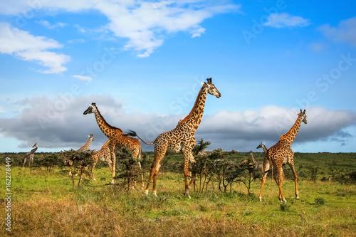 Stado żyraf w afrykańskiej sawannie. Park Narodowy Serengeti. Tanzania.
