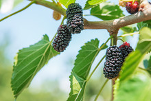 Fresh Mulberry, Black Ripe And...