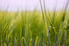 Detail Of Barley Field. Young Barley Plants In The Field. Blurred Background.