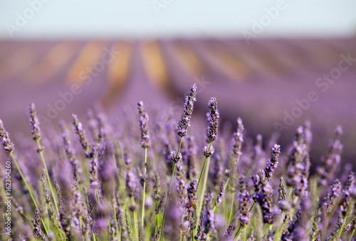 Foto op Plexiglas Lavendel lavandes en provence