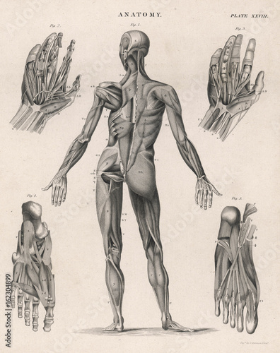 Muscles of the human body. Date: 1768 Canvas Print