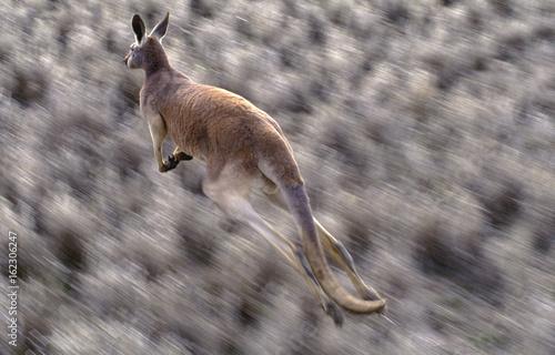 Fotobehang Kangoeroe Red kangaroo in the Australian outback in full flight.