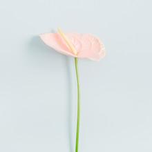 Beautiful Pink Anthurium Flowe...