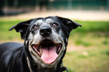 Portrait Of A Happy Old Dog At...