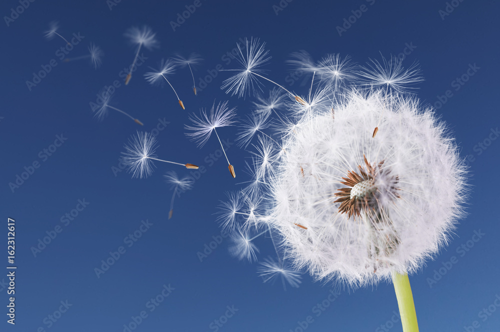 Fototapety, obrazy: Dandelion flying on blue background