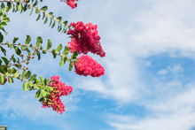 Beautiful Branches Of Crepe Myrtle (Lagerstroemia Indica) Blooms Again Cloud Blue Sky In Texas, America. A Colorful And Long-lasting Summer Flowers Which Cultivated In Warmer Climates Around The World