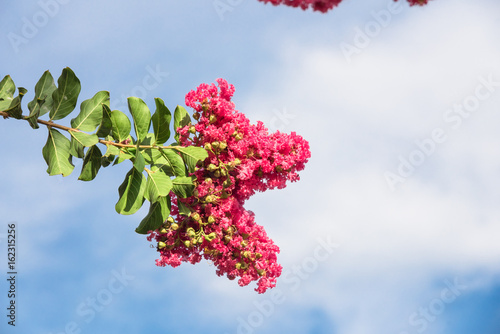 Fotografie, Obraz  Beautiful branches of crepe myrtle (Lagerstroemia indica) blooms again cloud blue sky in Texas, America