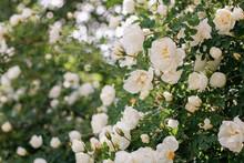 Blooming White Dog Rose