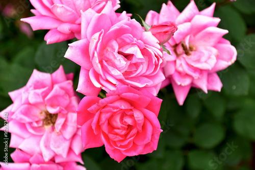 In de dag Candy roze 薔薇(ピンクダブルノックアウト)