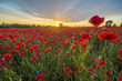 Red poppies among cornflowers and other wildflowers in the setting sun