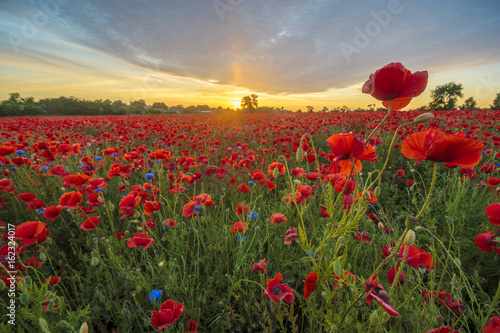 Fototapeta Red poppies among cornflowers and other wildflowers in the setting sun obraz na płótnie