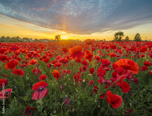 Canvas Prints Poppy Red poppies among cornflowers and other wildflowers in the setting sun