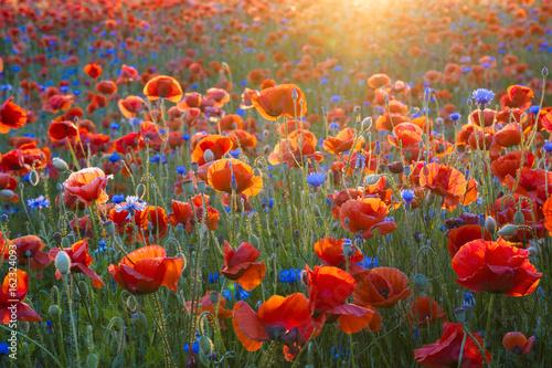 Plakat Czerwone maki wśród chabrów i innych kwiatów w zachodzącym słońcu