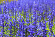 Blue Salvia (Salvia Farinacea Benth) Flowers In The Garden