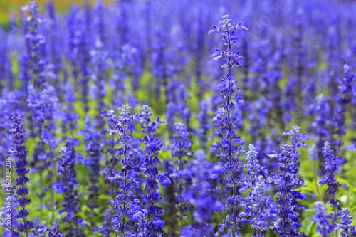 Fototapeta Blue salvia (Salvia farinacea Benth) flowers in the garden obraz
