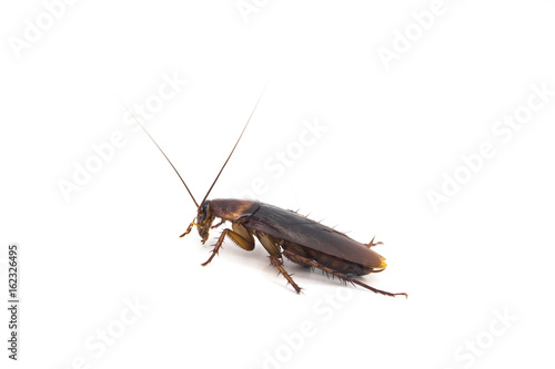 Cockroach - studio shot on the white