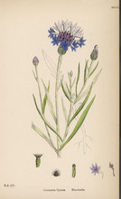 Plants: Centaurea Cyanus Or Bl...