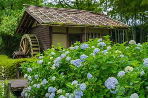 Fototapeta 府中郷土の森 紫陽花と水車小屋