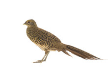 Female Pheasant Gold