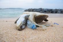 Dead Turtle Among Plastic Garb...