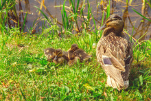 Wild Duck With Ducklings Sits ...