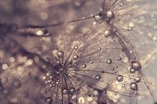 Dandelion With Water Drops. A Beautiful Macro Of A Dandelion. Golden Drops.