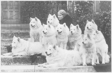 M Keyte Perry And Samoyeds. Da...