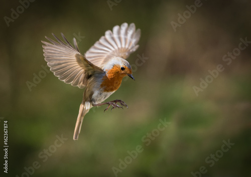 Poster Bird European Robin hovering with his wings out