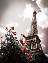 Eiffel Tower And Red Rose Shrub. Sepia. Vignette.