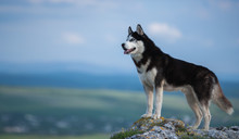 Black And White Siberian Husky Standing On A Mountain