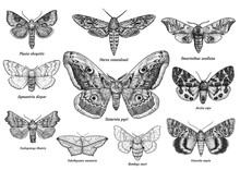 Set Of Moths And Butterflies Illustration, Drawing, Engraving, Ink, Line Art, Vector