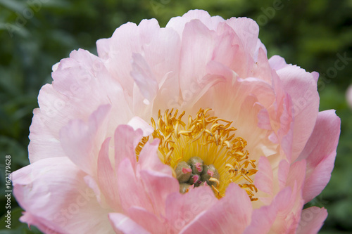 Photo  the bunch of pink sarah bernhardt cut out peonies in a turquoise glass bottle on