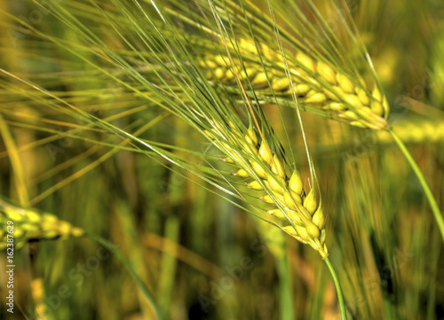 Montage in der Fensternische Pistazie Fresh ripe wheat on the field closeup