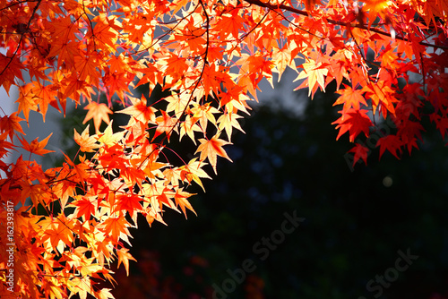 Japanese red maple leaf on dark background in autumn - 162393817