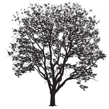 Elm Silhouette With Leaves