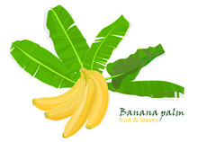 Branch Tropical Palm Banana Leaves And Fruits. Realistic Drawing In Flat Color Style. Isolated On White Background.