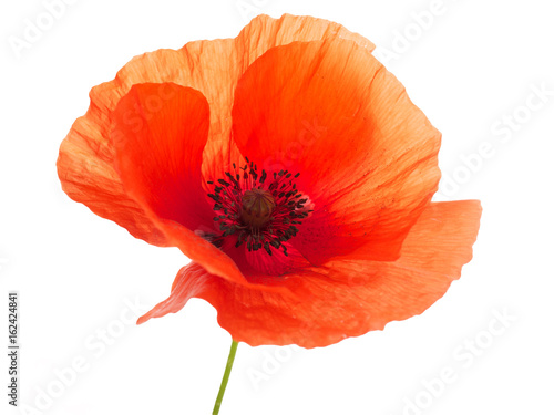Tuinposter Poppy bright red poppy flower isolated on white