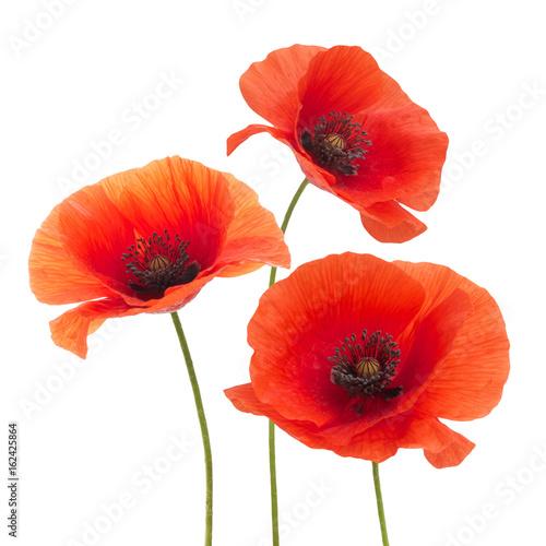 Poster Poppy Red poppy flower isolated on a white