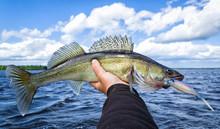 Summer Walleye Fishing In Sweden