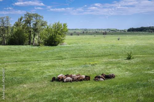 Cuadros en Lienzo  Herd of sheep on the field