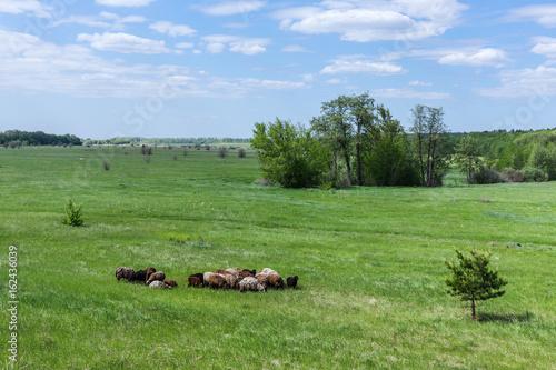 Fototapeta Herd of sheep on the field