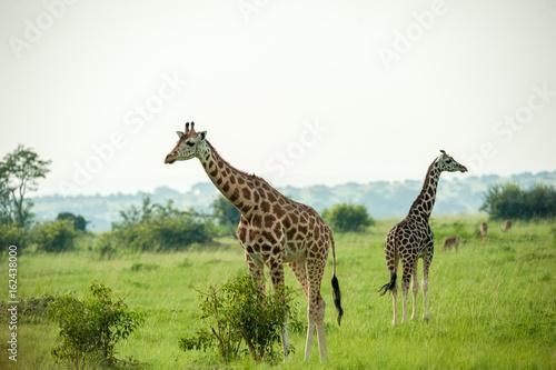 Giraffe, Queen Elizabeth Park, Uganda