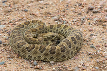 Prairie Rattlesnake Coiled Up After A Meal