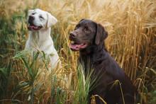 Zwei Junge Labrador Retriever Hunde Welpen In Einem Feld Glücklich Zusammen