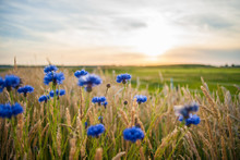 Blue Field Flowers In The High Grass Along The Side Of The Road